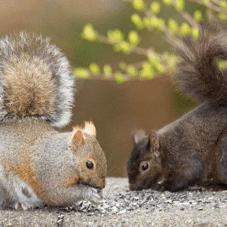 How does urbanization affect squirrel evolution?